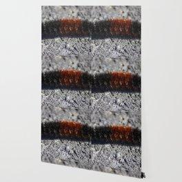 Banded Woolly Bear Caterpillar Wallpaper