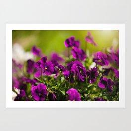 Purple pansies flowering bunch Art Print