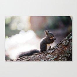 Cute eurasian red squirrel Canvas Print