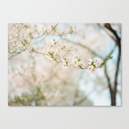 Cherry Blossoms (On Film) Canvas Print