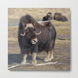 Arctic Muskox Metal Print