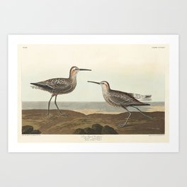 Long-legged Sandpiper from Birds of America (1827) by John James Audubon etched by William Home Liza Art Print
