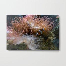 Among the anemones Metal Print