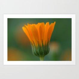 Marigold flower 6 Art Print