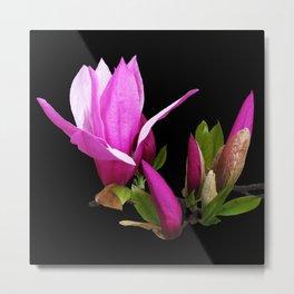 Rosy spring Magnolia on black Metal Print