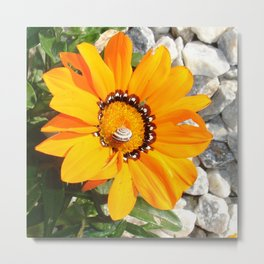 Bright Orange Gazania Flower with Snail Metal Print