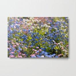 Myosotis flowering in spring Metal Print