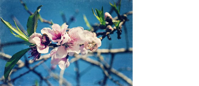 Nectarine Blossoms Coffee Mug
