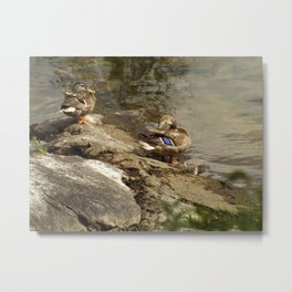 Summer Mallards Metal Print