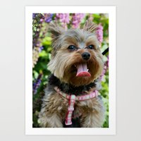 yorkie Art Prints featuring Happy Yorkie by IowaShots
