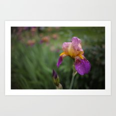 Purple and Yellow Bearded Iris Flowers Blooming in a Spring Garden 2 Art Print