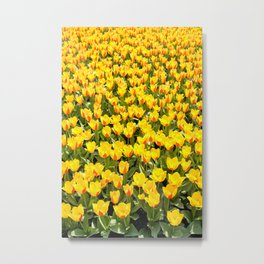 Yellow and red Stresa tulips abloom Metal Print