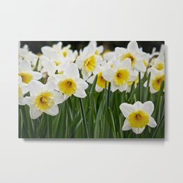 Close-up of a Field of White and Yellow Daffodils in Amsterdam, Netherlands Metal Print