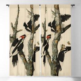 66 Ivory billed Woodpecker Blackout Curtain