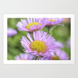 Aster pink daisy flowers in soft focus Art Print