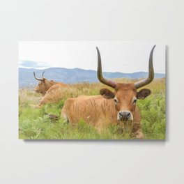 Barrosã cows at the top of the mountains of Gerês National Park Metal Print