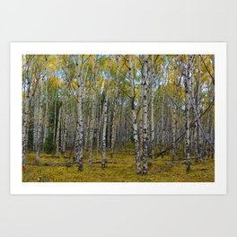 Trembling Aspen's in the Fall, Jasper National Park Art Print
