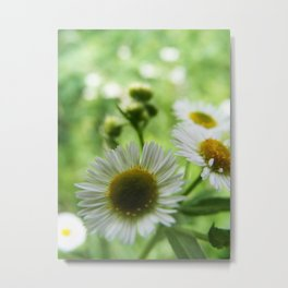 All For You My Daisy  Metal Print