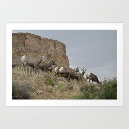 Desert Bighorn Art Print
