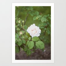 white rose Art Print
