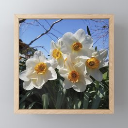 Sunny Faces of Spring - Gold and White Narcissus Flowers Framed Mini Art Print