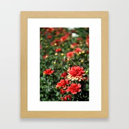 VIBRANT RED DAHLIAS - IN THE LATE AFTERNOON SUNSHINE Framed Art Print