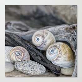 Shark's eye shells and driftwood Canvas Print