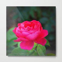 Dark Pink Rose by Teresa Thompson Metal Print