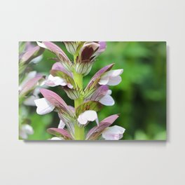 Spiny Acanthus Flowers Metal Print
