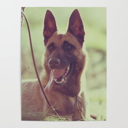 Malinios Beauty dog picture Poster