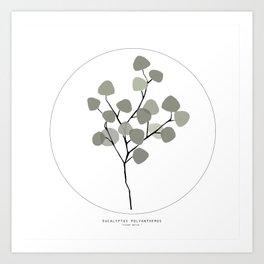 Eucalyptus Polyanthemos Art Print