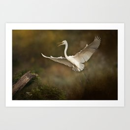 Great White Egret - Landing Art Print