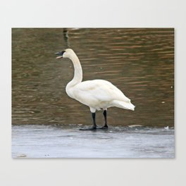 Lonely Trumpeter Swan Canvas Print