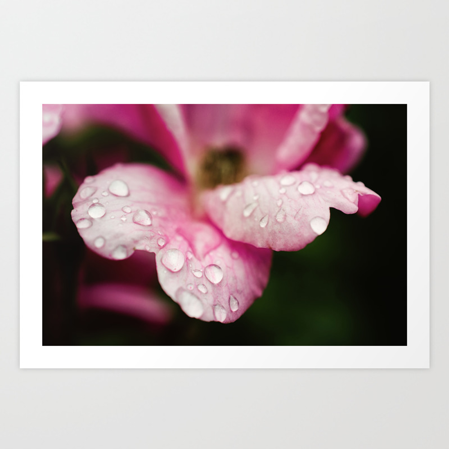 Floral Nature Photograph Raindrops On Wild Pink Rose Art Print By Pipafineart Society6