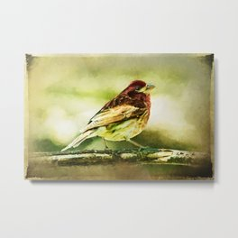 Purple Finch Strutting on Branch Bird Metal Print