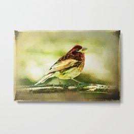 Purple Finch Strutting on Branch Bird Metal Print