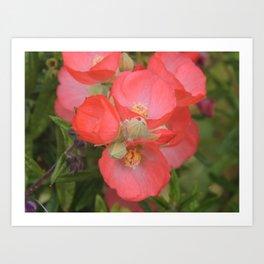 Apricot Mallow Blossoms Art Print