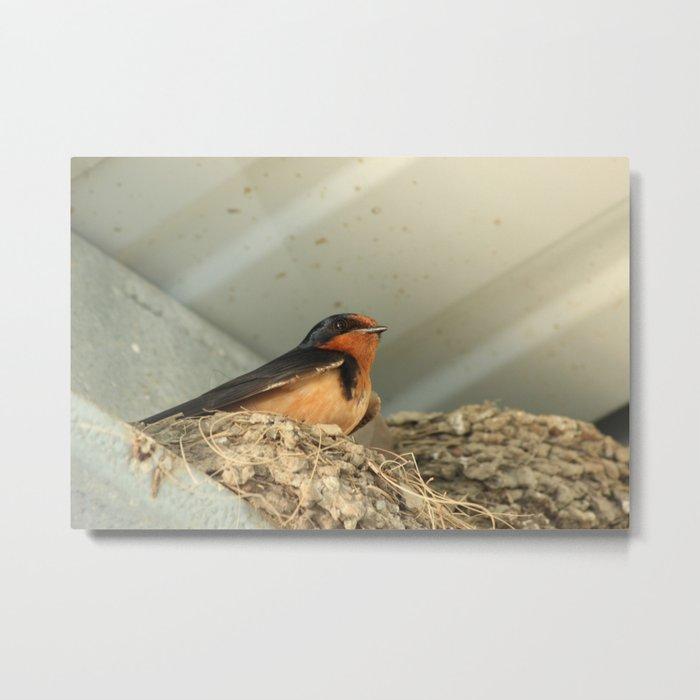 Barn Swallow in Its Nest Metal Print