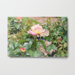 Blooming Pink and Yellow Rose Busch Metal Print