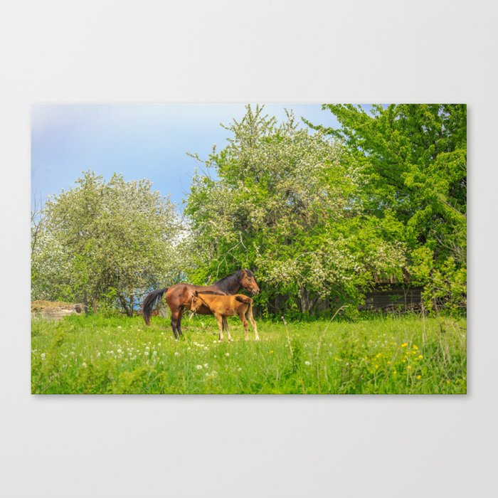 Foal Horse Baby Canvas Print