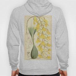 Gongora armeniaca (as syn. Acropera armeniaca) Curtis' vol. 91 pl. 5501 (1865) Hoody