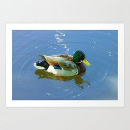 Ducks swimming Art Print