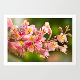 Aesculus red chestnut tree blossoms Art Print