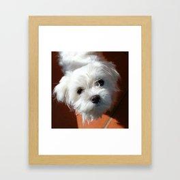 Cute Maltese asking for a treat Framed Art Print