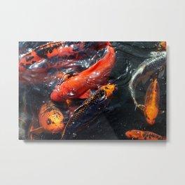 Coy Koi Fish Metal Print