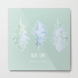 Bur Oak (Quercus macrocarpa) Metal Print