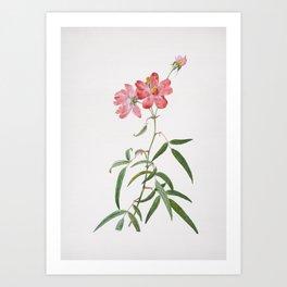 Vintage Blooming Pink Roses Illustration Art Print
