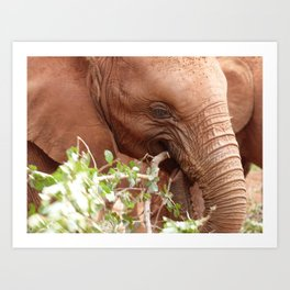 Young elephant feeding Art Print