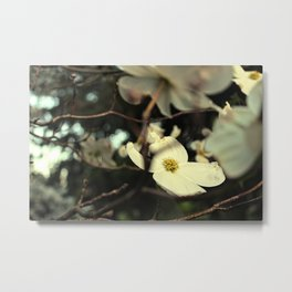 Vintage White Dogwood Metal Print