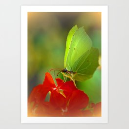 Brimstone Butterfly 45 Art Print